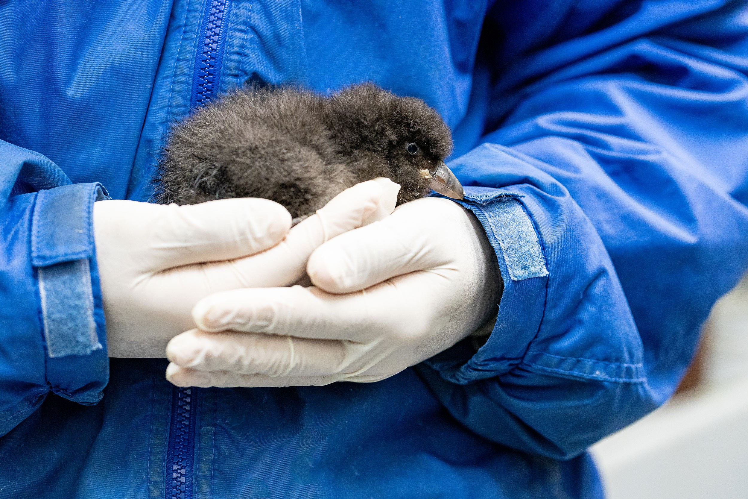 Holding a Puffin Chick